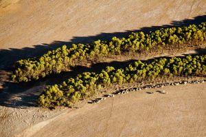 Mallee-Eukalyptusbäume für nachhaltigen Flugkraftstoff